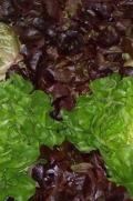 "Salat ""Eichblatt"""