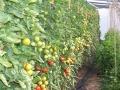Tomaten, Strauch- deutsch